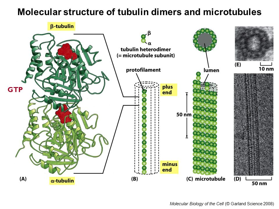 Molecular Biology of the Cell (© Garland Science 2008) Molecular structure of tubulin dimers and microtubules GTP