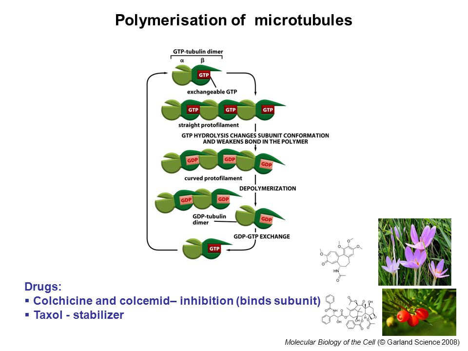 Molecular Biology of the Cell (© Garland Science 2008) Polymerisation of microtubules Drugs:  Colchicine and colcemid– inhibition (binds subunit)  Taxol - stabilizer