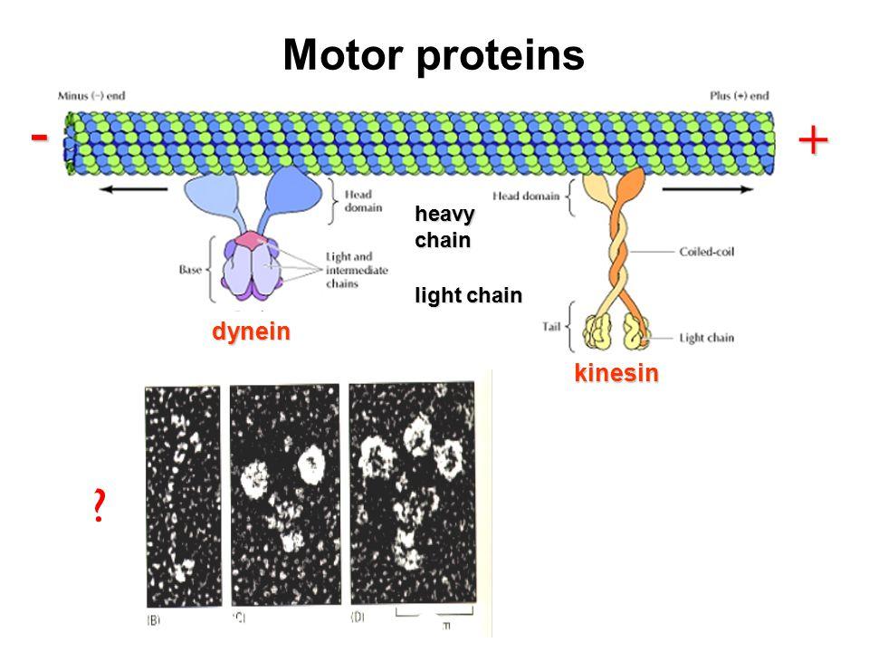 Motor proteins + - dynein + kinesin light chain heavychain