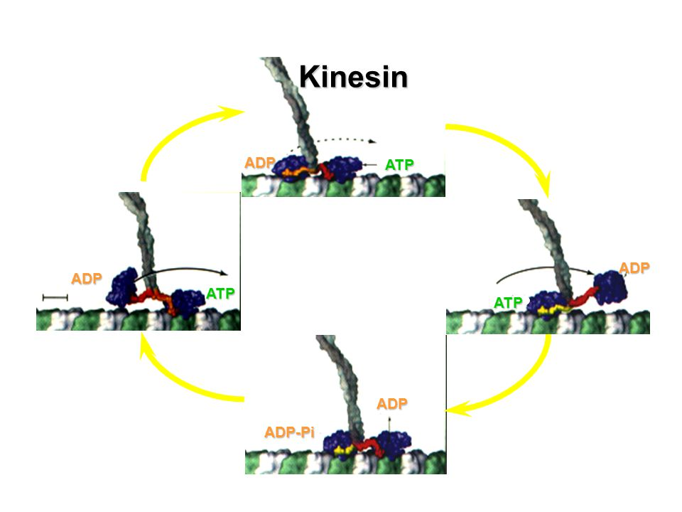 ATP ADP ATP ADP ADP ATP ADP ADP-Pi Kinesin