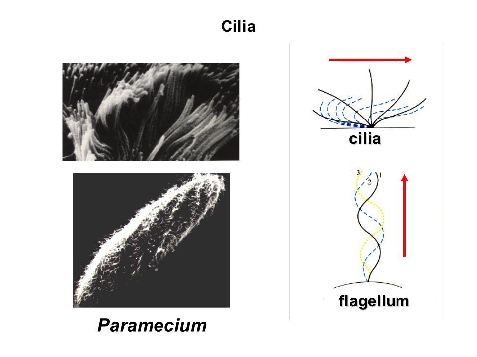 Cilia cilia flagellum Paramecium