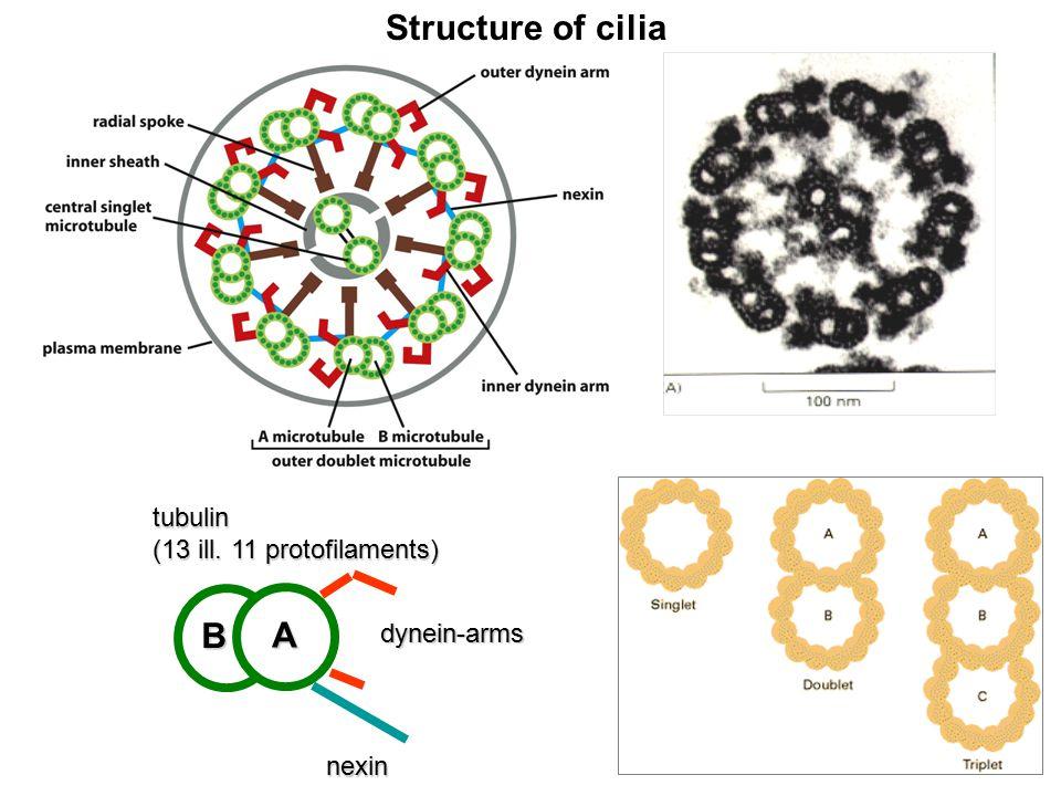 A B dynein-arms nexintubulin (13 ill. 11 protofilaments) Structure of cilia