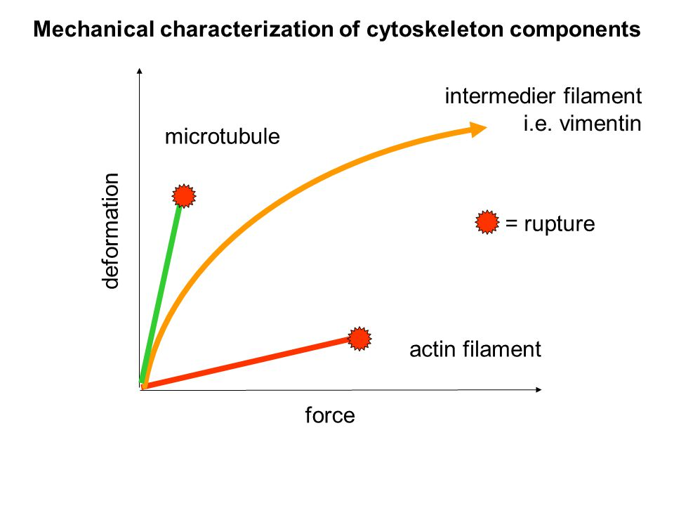 Mechanical characterization of cytoskeleton components deformation force actin filament intermedier filament i.e.