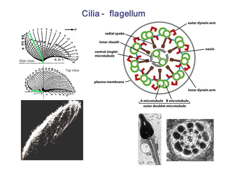 Cilia - flagellum