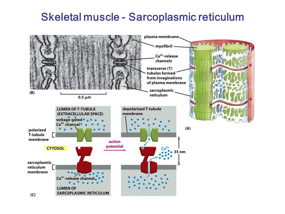Skeletal muscle - Sarcoplasmic reticulum