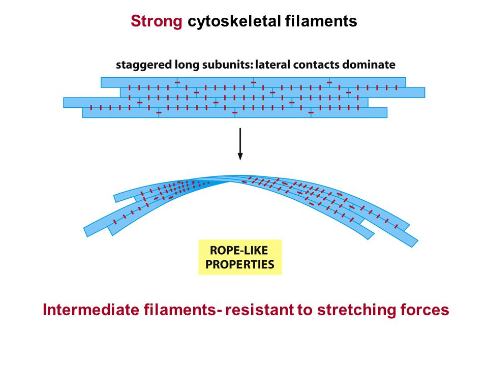 Strong cytoskeletal filaments Intermediate filaments- resistant to stretching forces