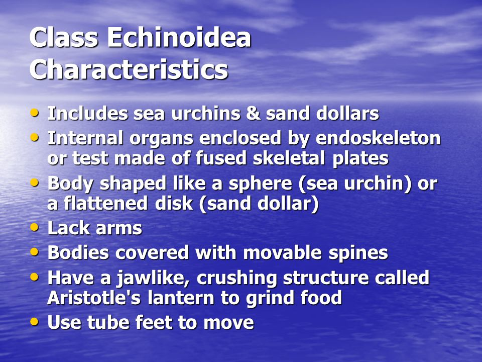 Class Echinoidea Characteristics Includes sea urchins & sand dollars Includes sea urchins & sand dollars Internal organs enclosed by endoskeleton or t