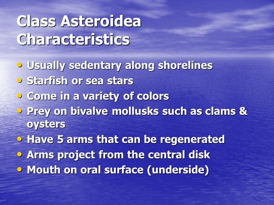 Class Asteroidea Characteristics Usually sedentary along shorelines Usually sedentary along shorelines Starfish or sea stars Starfish or sea stars Com