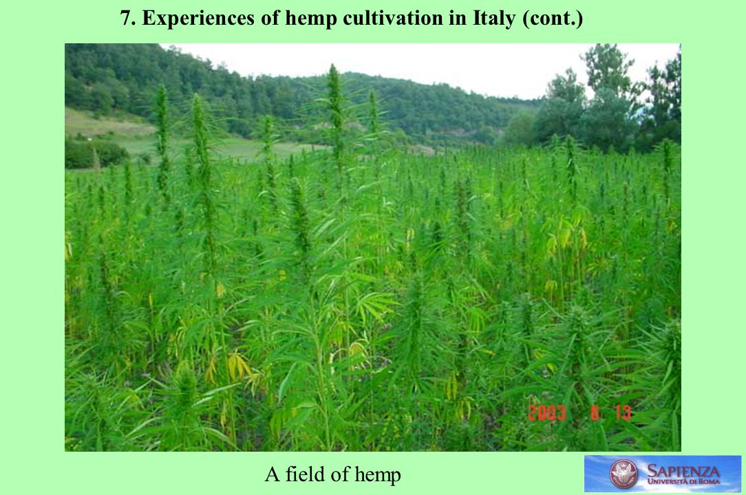 A field of hemp 7. Experiences of hemp cultivation in Italy (cont.)