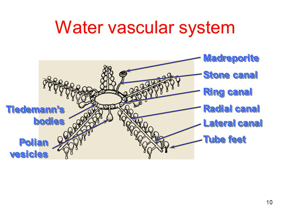 10 Water vascular system MadreporiteMadreporite Ring canal Stone canal Radial canal Lateral canal Tube feet PolianvesiclesPolianvesicles Tiedemann'sbodiesTiedemann'sbodies