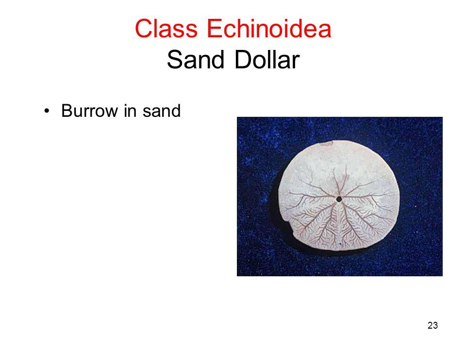 23 Class Echinoidea Sand Dollar Burrow in sand
