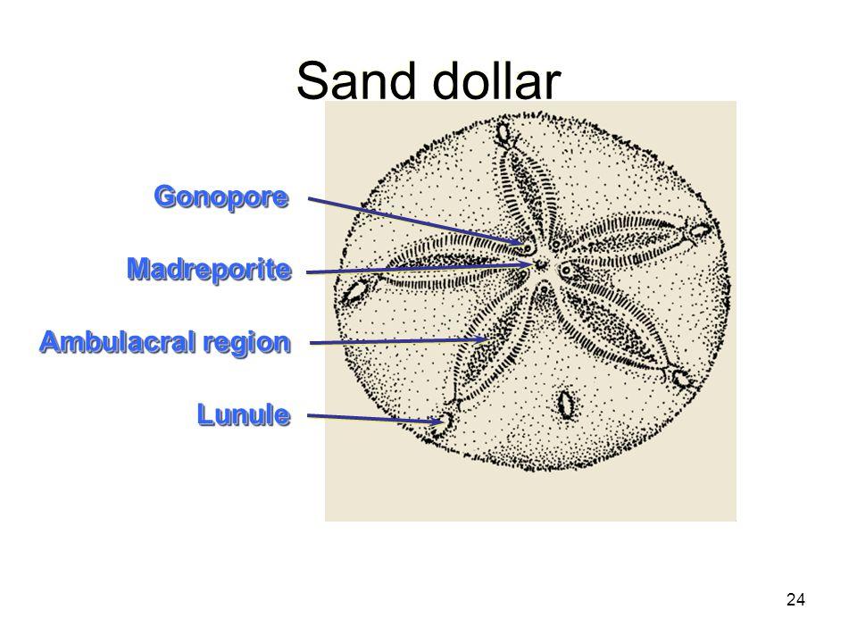 24 Sand dollar MadreporiteMadreporite GonoporeGonopore Ambulacral region LunuleLunule