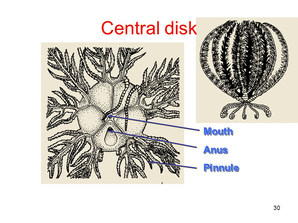30 Central disk AnusAnus MouthMouth PinnulePinnule