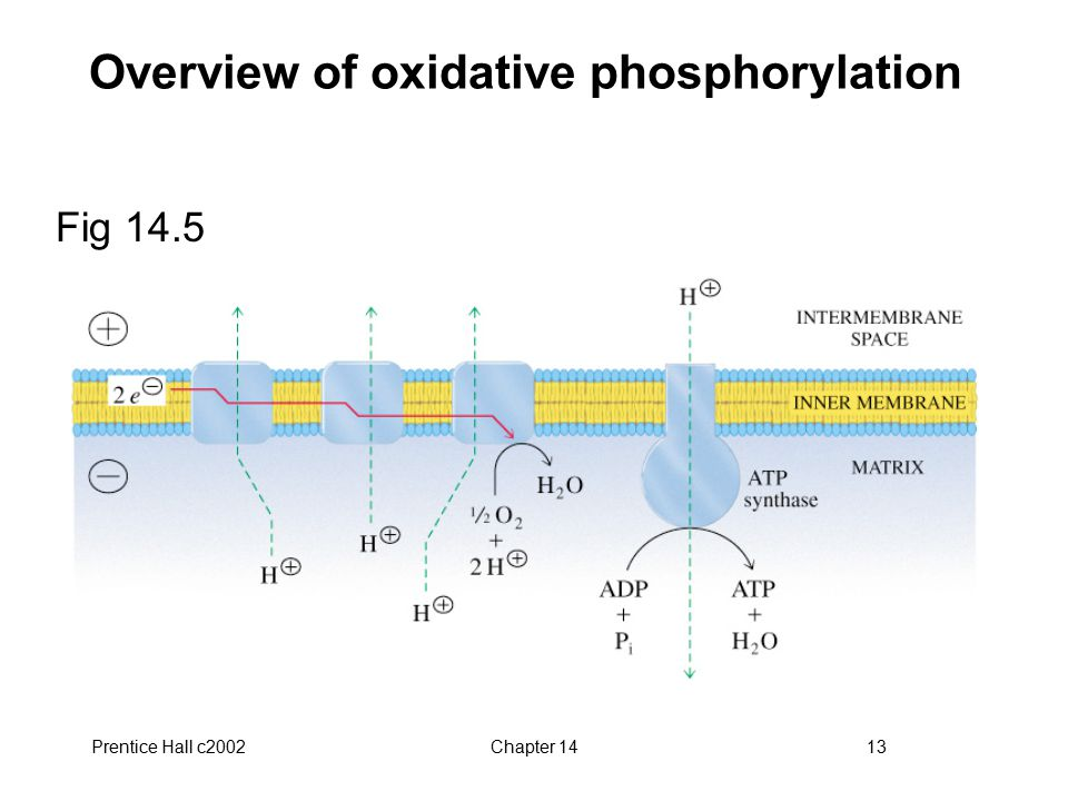 Prentice Hall c2002Chapter 1413 Overview of oxidative phosphorylation Fig 14.5