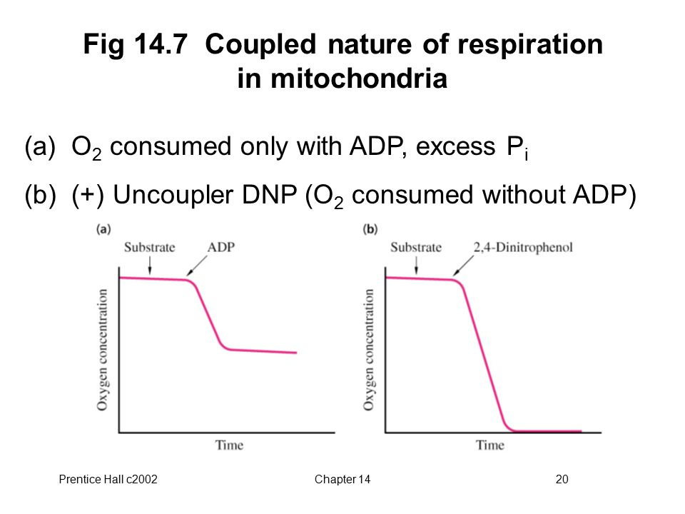 Prentice Hall c2002Chapter 1420 Fig 14.7 Coupled nature of respiration in mitochondria (a) O 2 consumed only with ADP, excess P i (b) (+) Uncoupler DNP (O 2 consumed without ADP)
