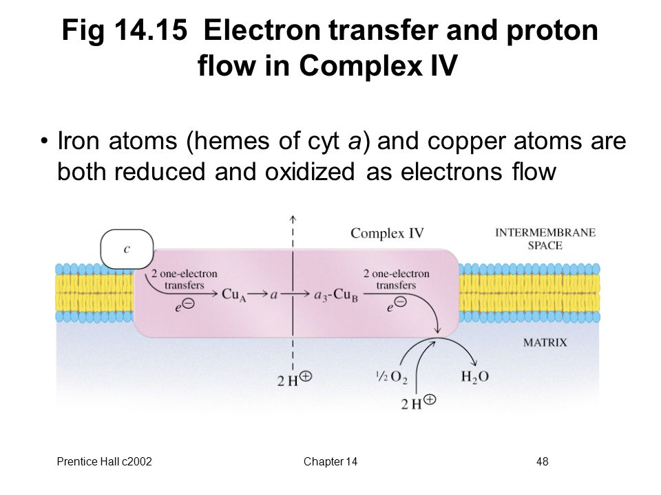 Prentice Hall c2002Chapter 1448 Fig 14.15 Electron transfer and proton flow in Complex IV Iron atoms (hemes of cyt a) and copper atoms are both reduced and oxidized as electrons flow
