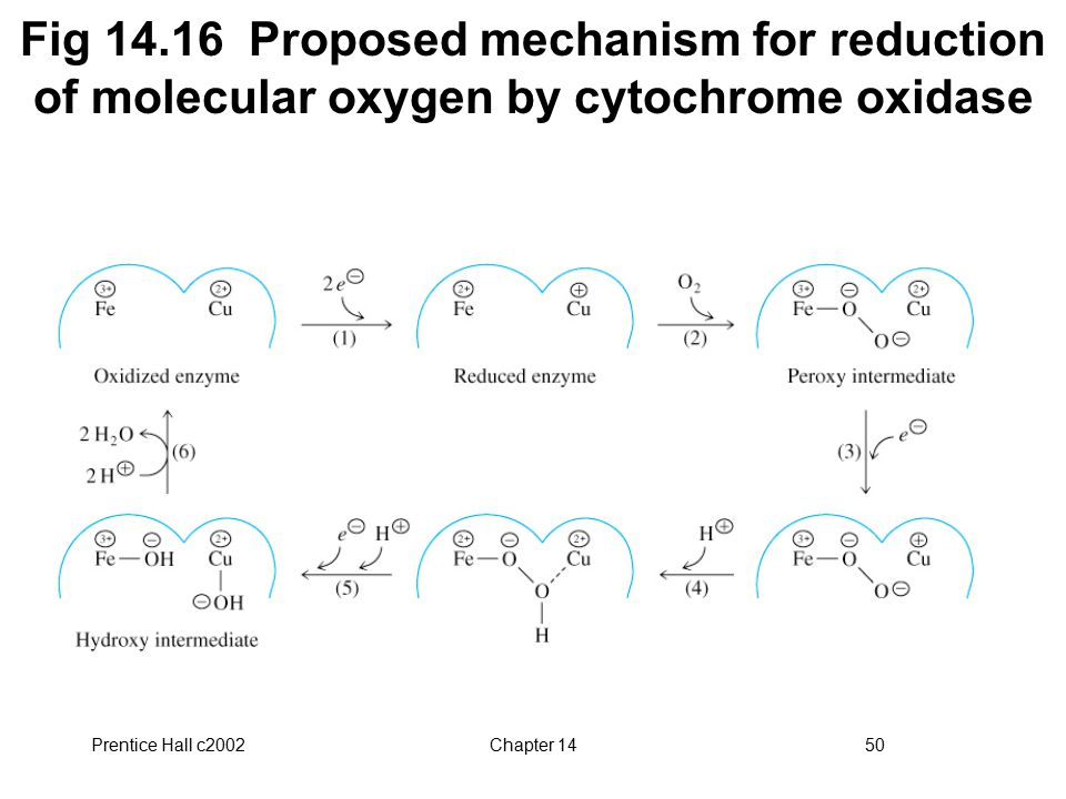 Prentice Hall c2002Chapter 1450 Fig 14.16 Proposed mechanism for reduction of molecular oxygen by cytochrome oxidase