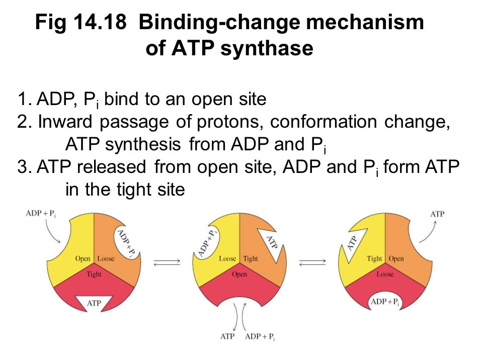 Prentice Hall c2002Chapter 1465 Fig 14.18 Binding-change mechanism of ATP synthase 1.