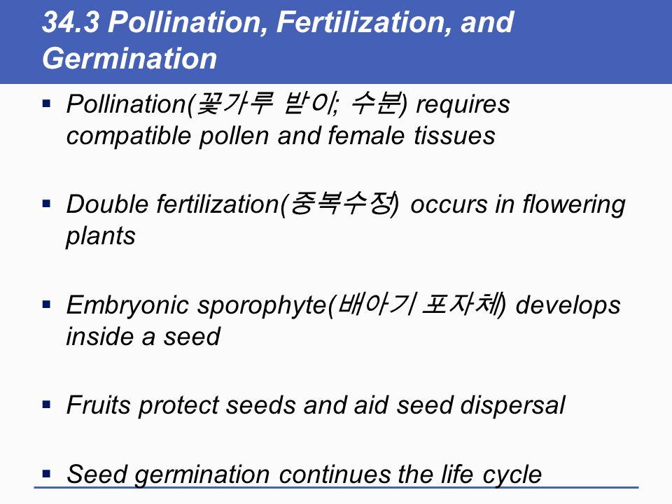 34.3 Pollination, Fertilization, and Germination  Pollination( 꽃가루 받이 ; 수분 ) requires compatible pollen and female tissues  Double fertilization( 중복