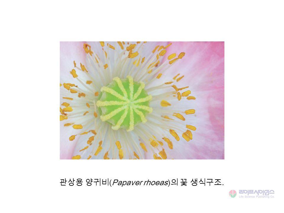 관상용 양귀비 (Papaver rhoeas) 의 꽃 생식구조.