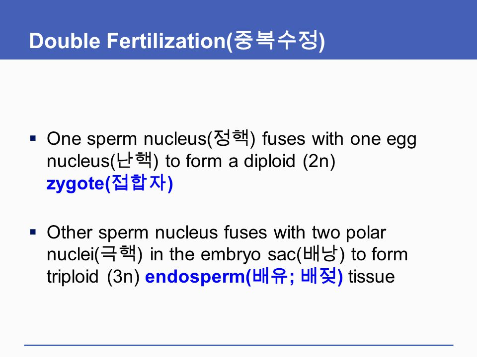 Double Fertilization( 중복수정 )  One sperm nucleus( 정핵 ) fuses with one egg nucleus( 난핵 ) to form a diploid (2n) zygote( 접합자 )  Other sperm nucleus fus