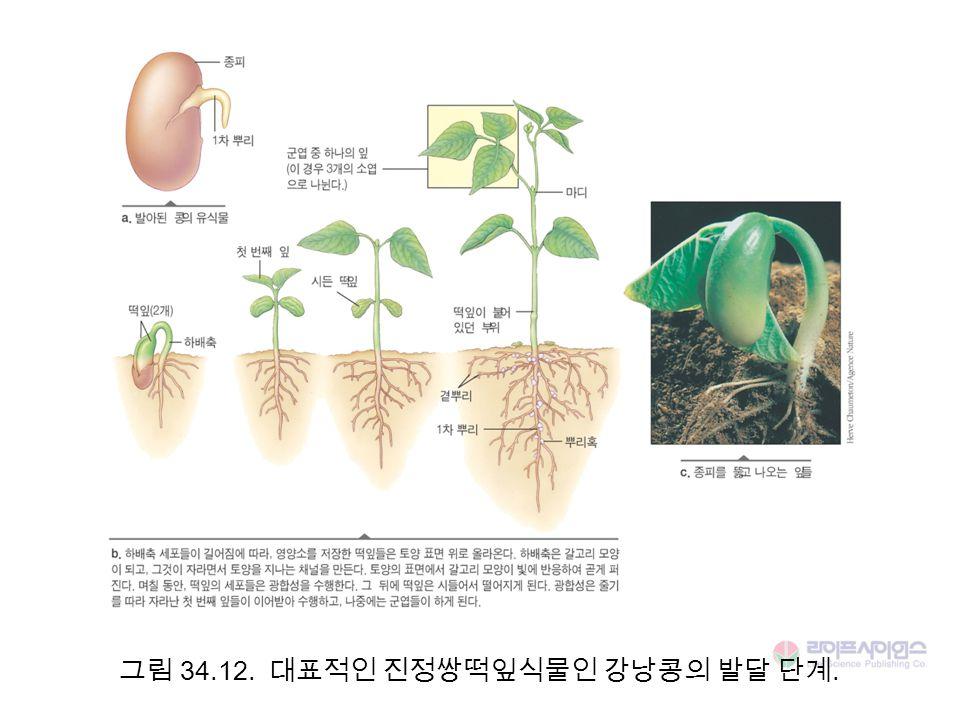 그림 34.12. 대표적인 진정쌍떡잎식물인 강낭콩의 발달 단계.