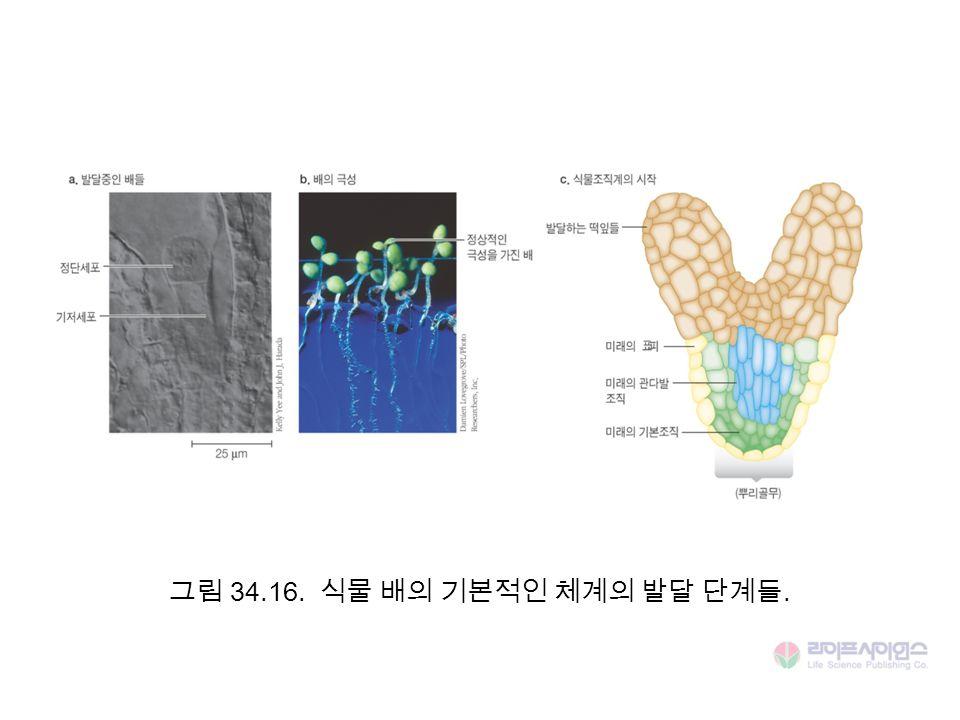 그림 34.16. 식물 배의 기본적인 체계의 발달 단계들.