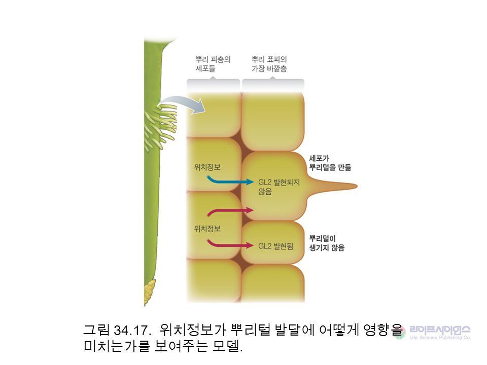 그림 34.17. 위치정보가 뿌리털 발달에 어떻게 영향을 미치는가를 보여주는 모델.