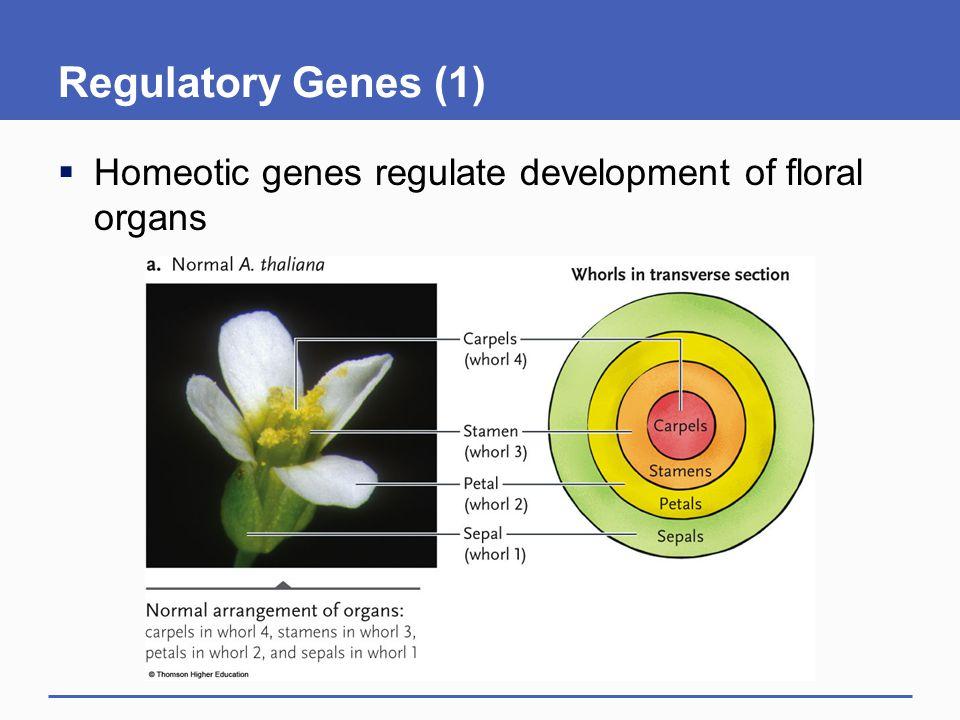 Regulatory Genes (1)  Homeotic genes regulate development of floral organs