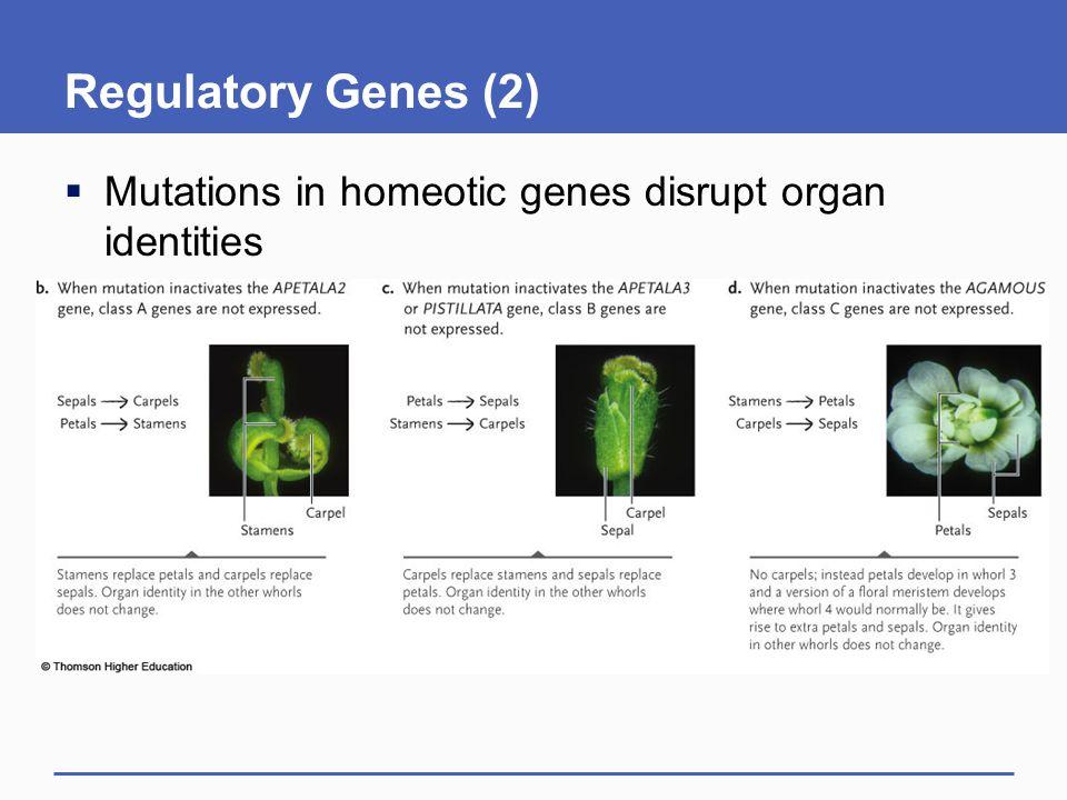 Regulatory Genes (2)  Mutations in homeotic genes disrupt organ identities