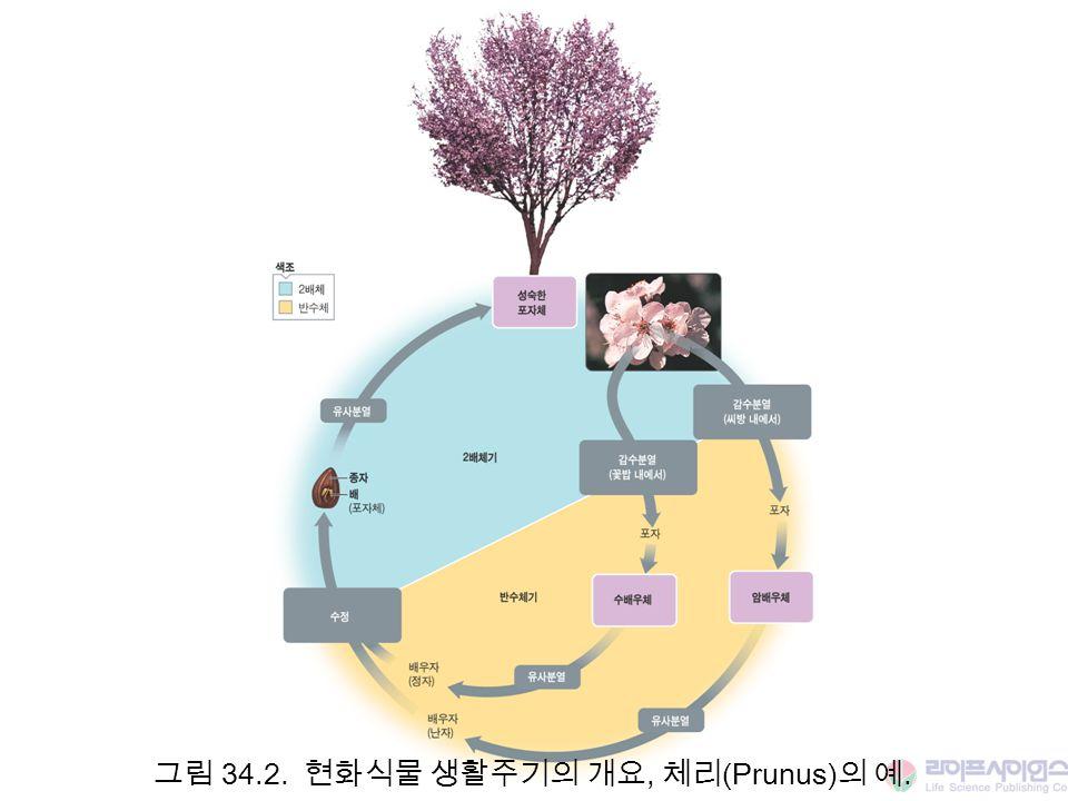 그림 34.2. 현화식물 생활주기의 개요, 체리 (Prunus) 의 예.