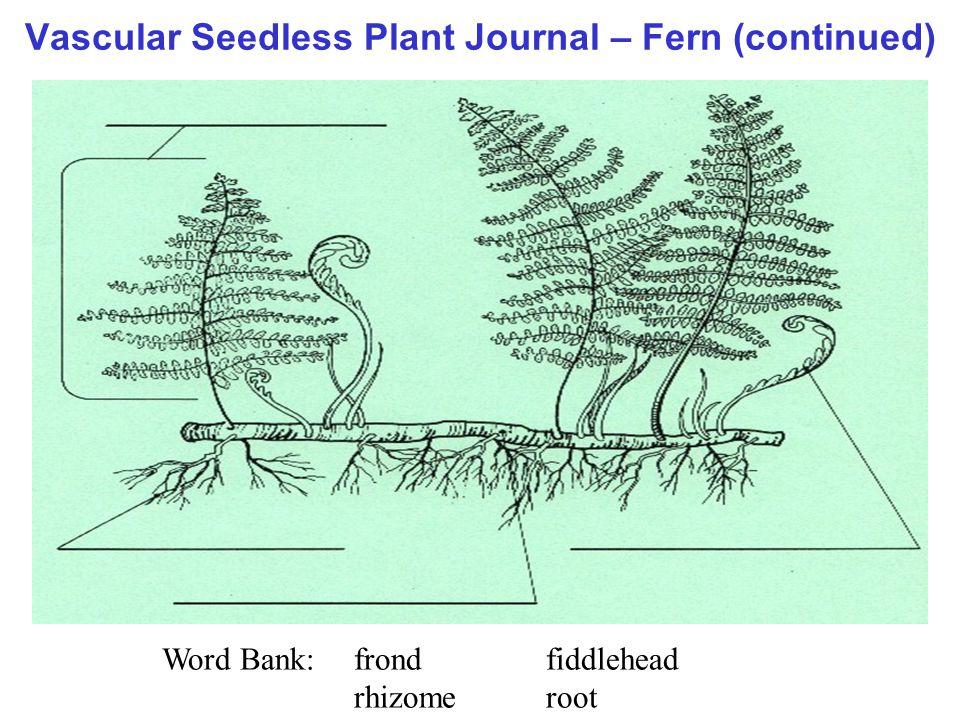 Vascular Seedless Plant Journal – Fern (continued) Word Bank:frondfiddlehead rhizomeroot