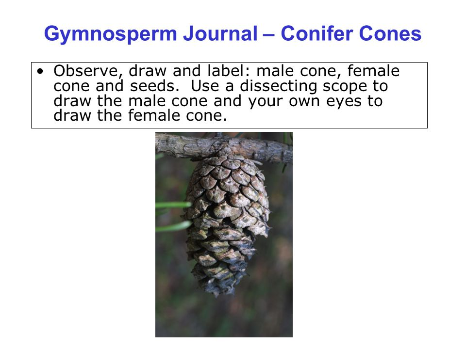 Gymnosperm Journal – Conifer Cones Observe, draw and label: male cone, female cone and seeds. Use a dissecting scope to draw the male cone and your ow