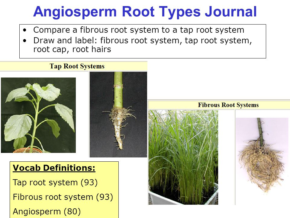 Angiosperm Root Types Journal Compare a fibrous root system to a tap root system Draw and label: fibrous root system, tap root system, root cap, root