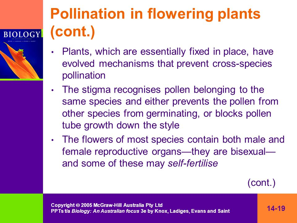 14-19 Copyright  2005 McGraw-Hill Australia Pty Ltd PPTs t/a Biology: An Australian focus 3e by Knox, Ladiges, Evans and Saint Pollination in flowering plants (cont.) Plants, which are essentially fixed in place, have evolved mechanisms that prevent cross-species pollination The stigma recognises pollen belonging to the same species and either prevents the pollen from other species from germinating, or blocks pollen tube growth down the style The flowers of most species contain both male and female reproductive organs—they are bisexual— and some of these may self-fertilise (cont.)