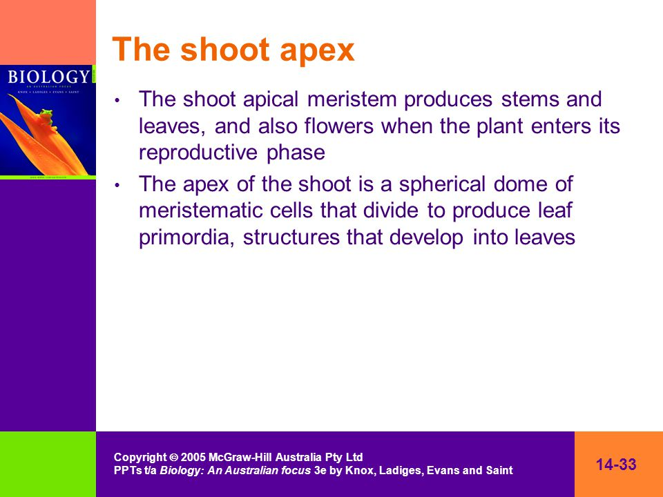 14-33 Copyright  2005 McGraw-Hill Australia Pty Ltd PPTs t/a Biology: An Australian focus 3e by Knox, Ladiges, Evans and Saint The shoot apex The shoot apical meristem produces stems and leaves, and also flowers when the plant enters its reproductive phase The apex of the shoot is a spherical dome of meristematic cells that divide to produce leaf primordia, structures that develop into leaves