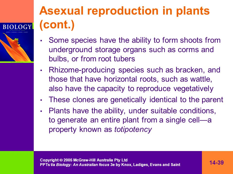 14-39 Copyright  2005 McGraw-Hill Australia Pty Ltd PPTs t/a Biology: An Australian focus 3e by Knox, Ladiges, Evans and Saint Asexual reproduction in plants (cont.) Some species have the ability to form shoots from underground storage organs such as corms and bulbs, or from root tubers Rhizome-producing species such as bracken, and those that have horizontal roots, such as wattle, also have the capacity to reproduce vegetatively These clones are genetically identical to the parent Plants have the ability, under suitable conditions, to generate an entire plant from a single cell—a property known as totipotency