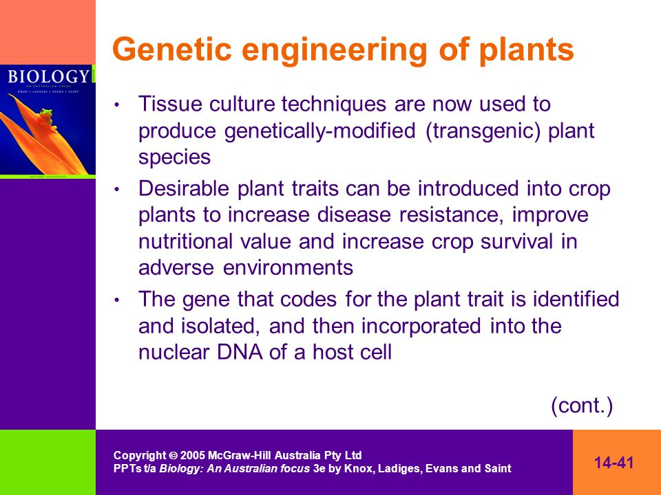 14-41 Copyright  2005 McGraw-Hill Australia Pty Ltd PPTs t/a Biology: An Australian focus 3e by Knox, Ladiges, Evans and Saint Genetic engineering of plants Tissue culture techniques are now used to produce genetically-modified (transgenic) plant species Desirable plant traits can be introduced into crop plants to increase disease resistance, improve nutritional value and increase crop survival in adverse environments The gene that codes for the plant trait is identified and isolated, and then incorporated into the nuclear DNA of a host cell (cont.)