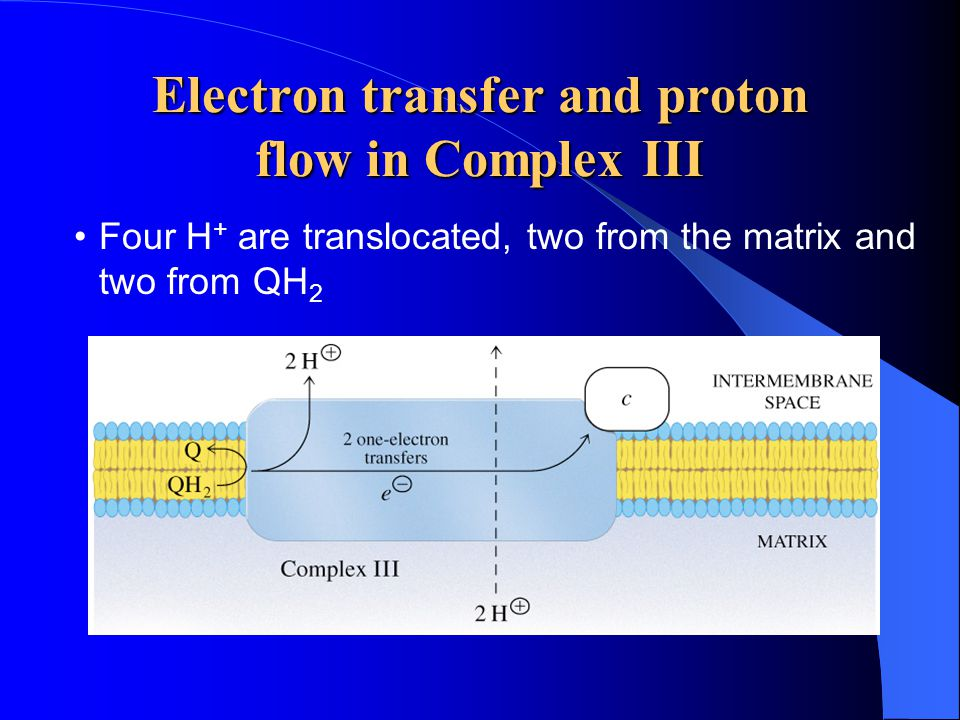 Electron transfer and proton flow in Complex III Four H + are translocated, two from the matrix and two from QH 2
