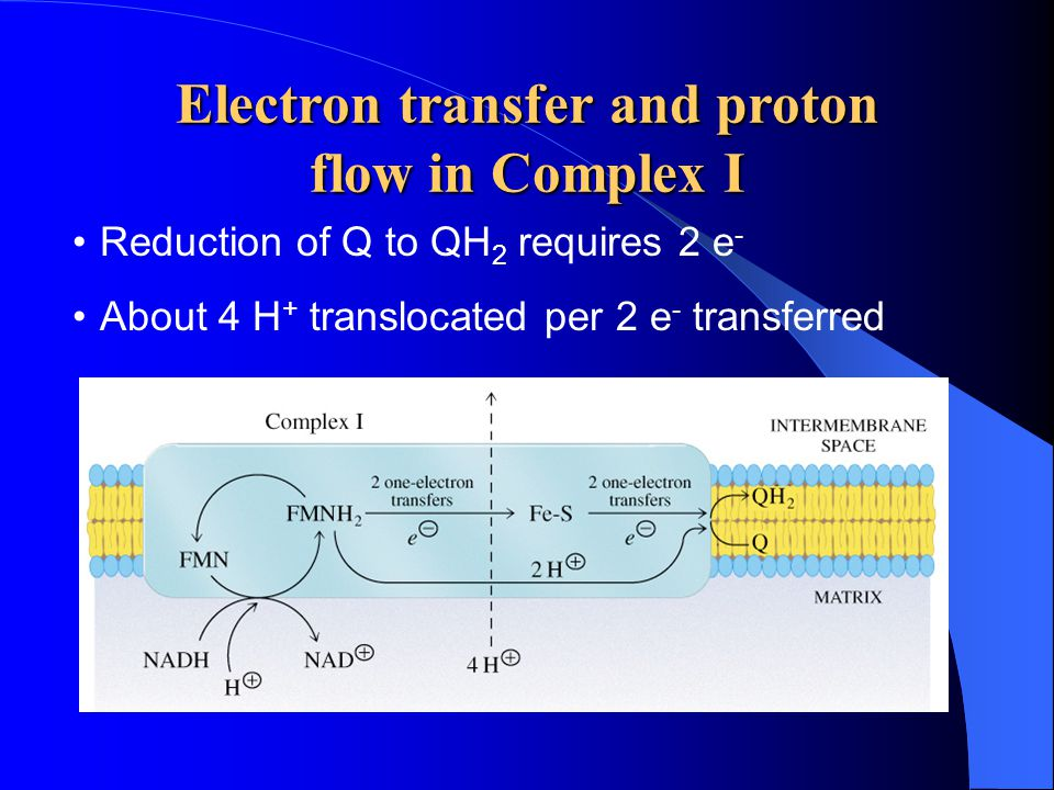 Electron transfer and proton flow in Complex I Reduction of Q to QH 2 requires 2 e - About 4 H + translocated per 2 e - transferred