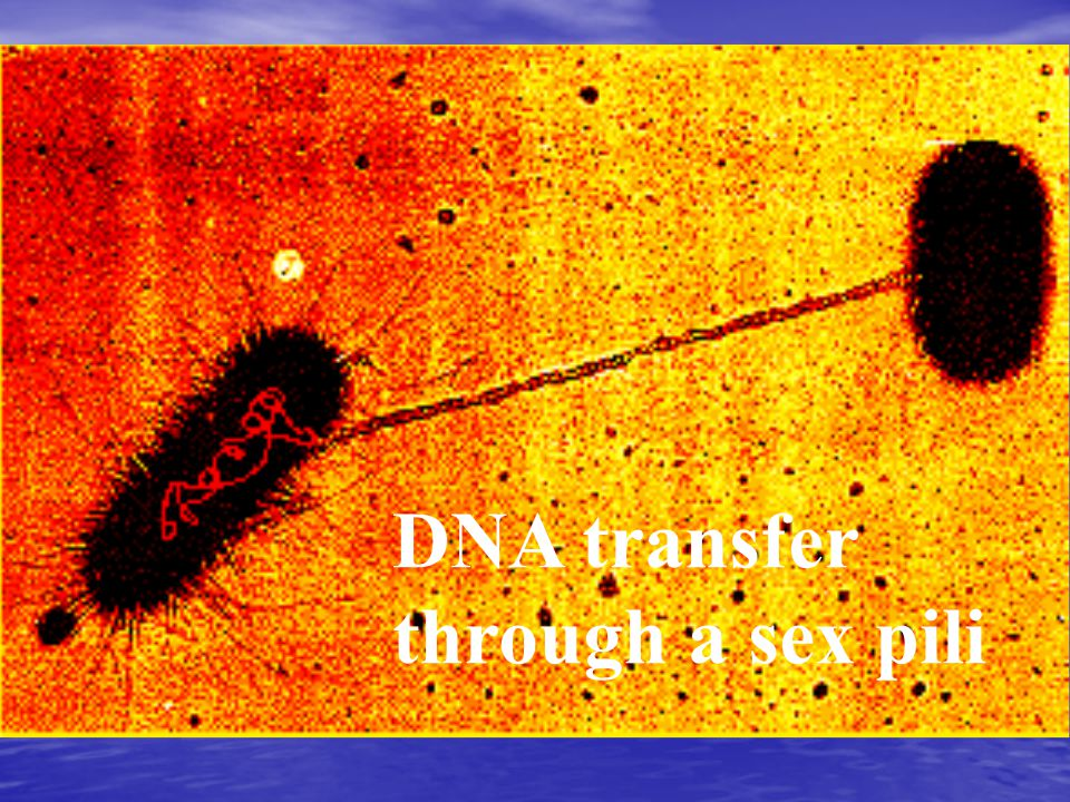 DNA transfer through a sex pili
