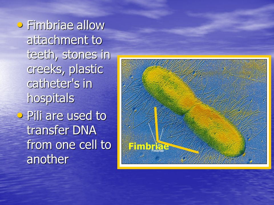 Fimbriae allow attachment to teeth, stones in creeks, plastic catheter s in hospitals Fimbriae allow attachment to teeth, stones in creeks, plastic catheter s in hospitals Pili are used to transfer DNA from one cell to another Pili are used to transfer DNA from one cell to another Fimbriae