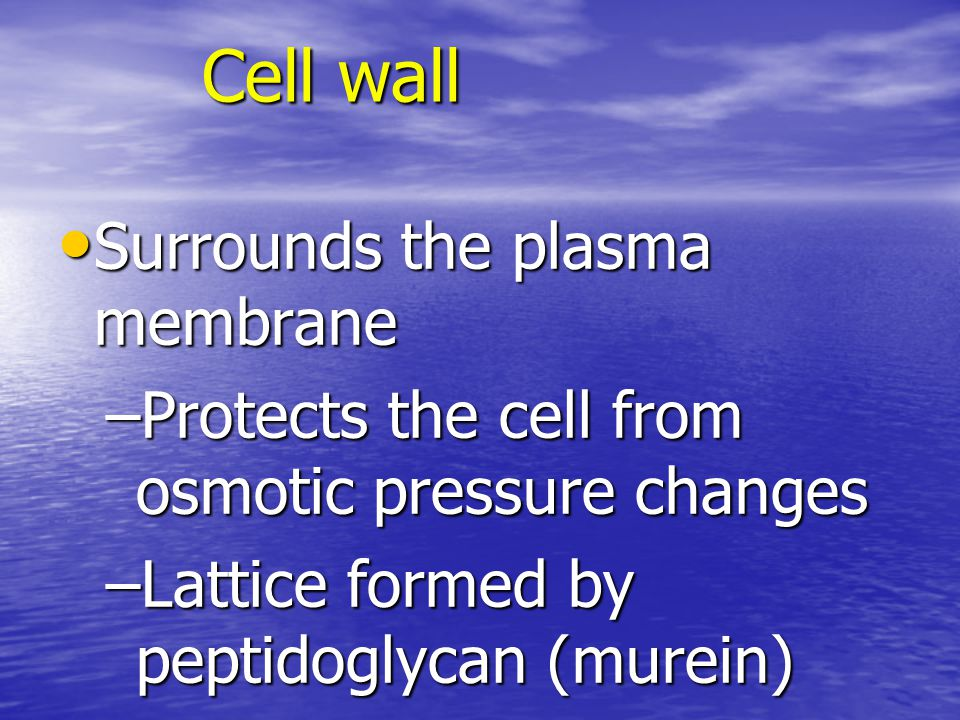 Cell wall Surrounds the plasma membrane Surrounds the plasma membrane –Protects the cell from osmotic pressure changes –Lattice formed by peptidoglycan (murein)