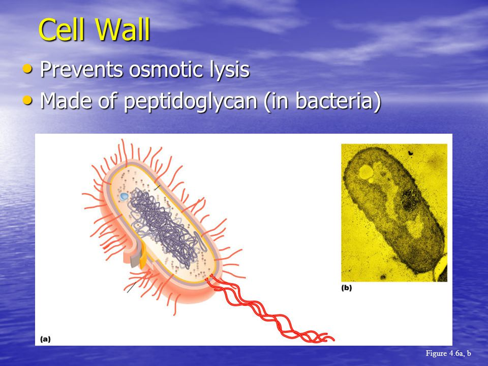 Prevents osmotic lysis Prevents osmotic lysis Made of peptidoglycan (in bacteria) Made of peptidoglycan (in bacteria) Cell Wall Figure 4.6a, b