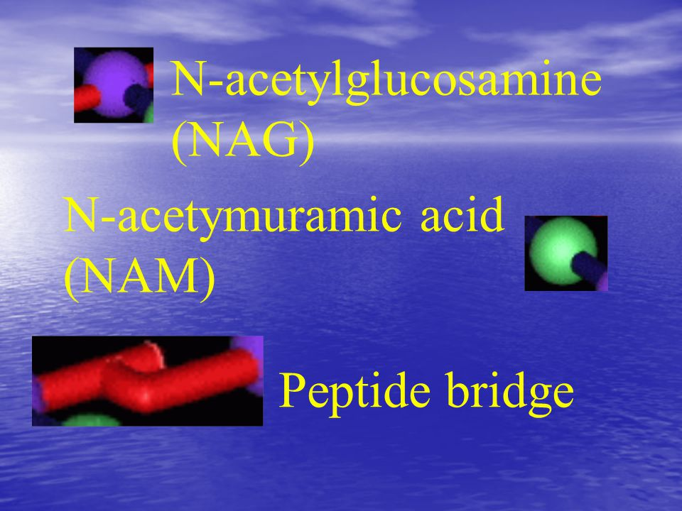 N-acetylglucosamine (NAG) N-acetymuramic acid (NAM) Peptide bridge