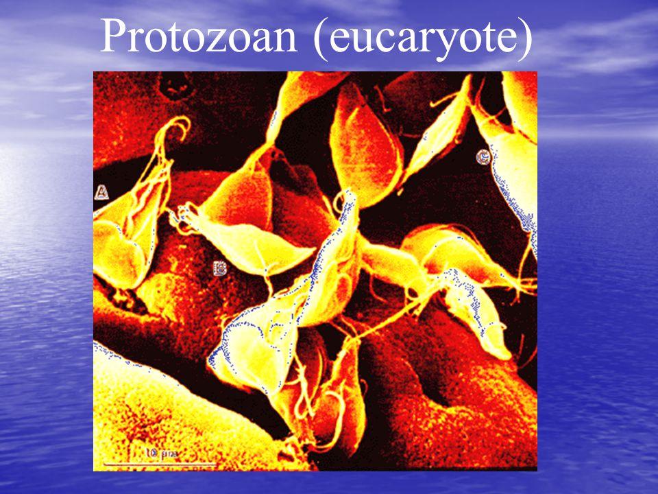 Protozoan (eucaryote)