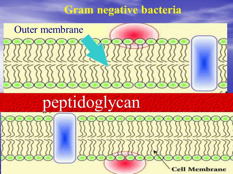 Outer membrane peptidoglycan Gram negative bacteria