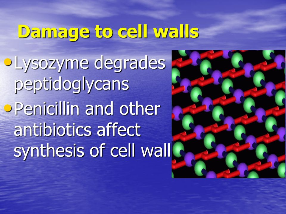 Damage to cell walls Lysozyme degrades peptidoglycans Lysozyme degrades peptidoglycans Penicillin and other antibiotics affect synthesis of cell wall Penicillin and other antibiotics affect synthesis of cell wall