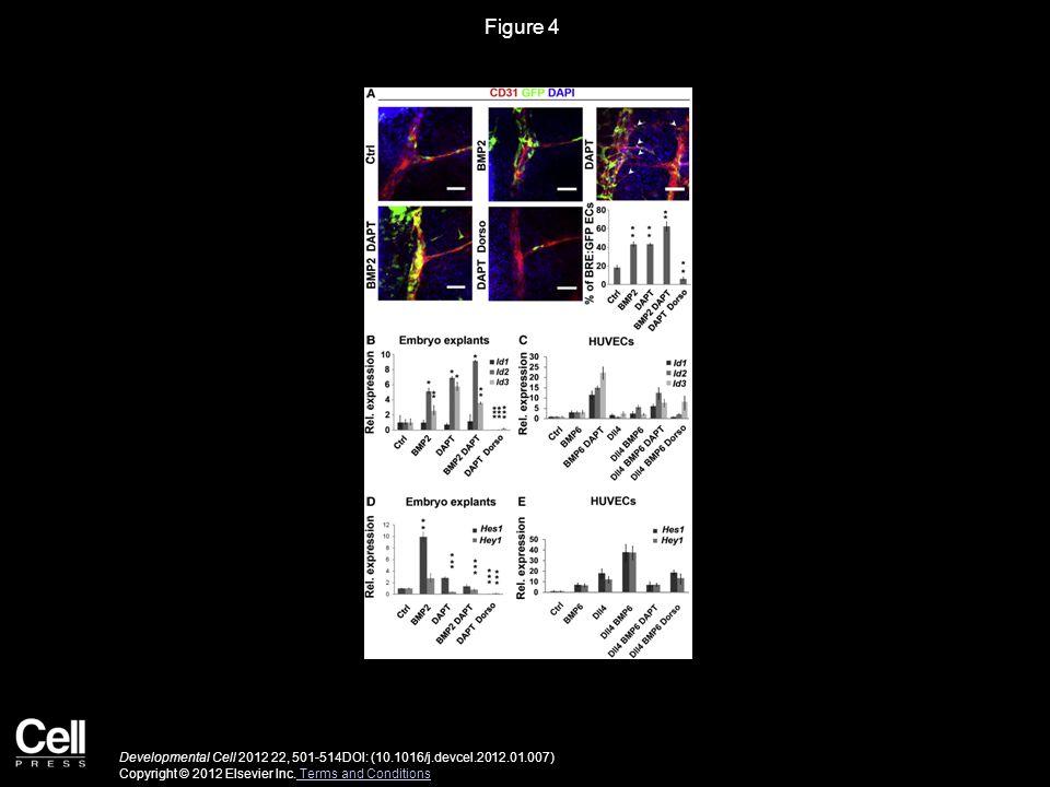 Figure 4 Developmental Cell 2012 22, 501-514DOI: (10.1016/j.devcel.2012.01.007) Copyright © 2012 Elsevier Inc.