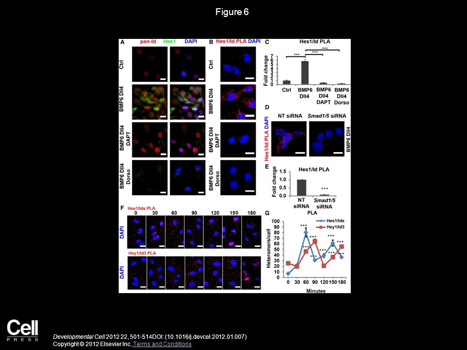 Figure 6 Developmental Cell 2012 22, 501-514DOI: (10.1016/j.devcel.2012.01.007) Copyright © 2012 Elsevier Inc.